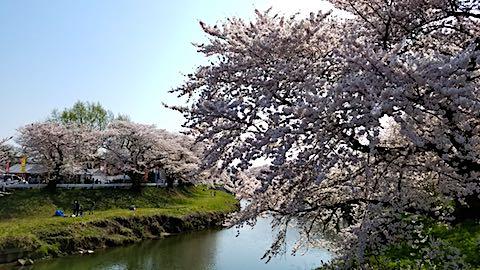 20180421太平川沿いの桜愛宕下橋7