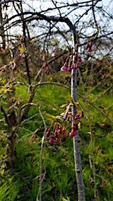 20180421山の様子八重紅枝垂れ桜のつぼみ
