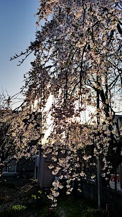 20180421山からの帰り道の様子枝垂れ桜と梅の花1
