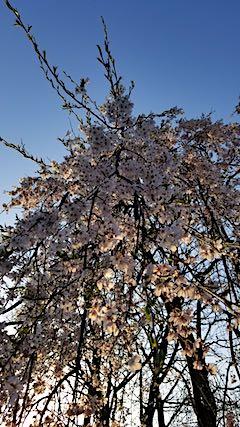 20180421山からの帰り道の様子枝垂れ桜の花