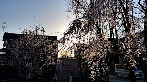 20180421山からの帰り道の様子枝垂れ桜と梅の花2