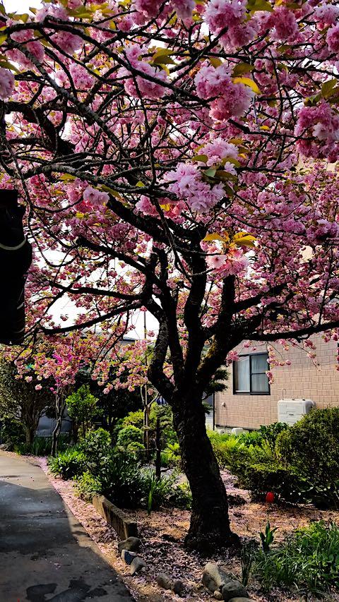 20180501八重桜