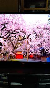 20180501三多気の桜1