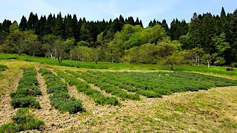 20180512ラベンダー畑の様子