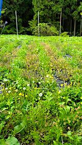 20180512草刈り前の野菜畑の様子2