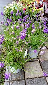 20180514花屋さんに置かれていたラベンダーの鉢