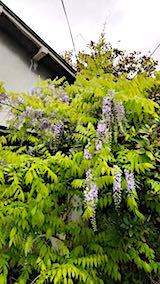 20180514藤の花が咲き出す