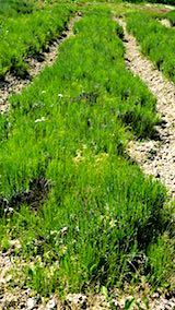 20180529ラベンダーこいむらさきの列の草刈り前の様子2