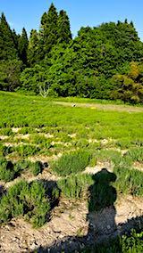 20180529ラベンダーの畑の草取り途中の様子1