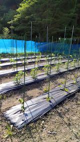 20180604野菜畑