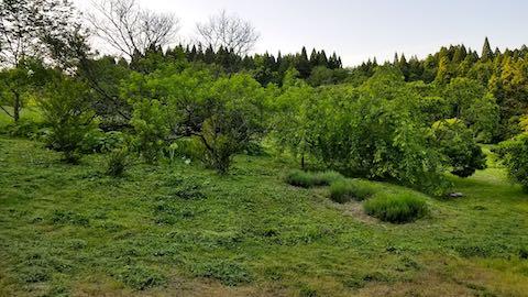 20180604八重紅枝垂れ桜のある斜面の草刈り後