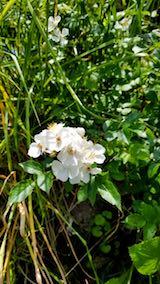 20180607山の様子バラの花