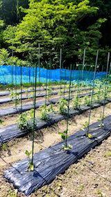 20180607野菜畑整理前1
