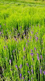 20180607早咲きラベンダーこいむらさきの草取り途中の様子1
