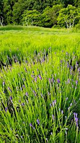 20180607早咲きラベンダーこいむらさきの草取り途中の様子2