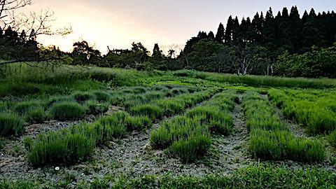 20180607ラベンダー畑の様子2
