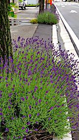 20180612歩道の早咲きラベンダーこいむらさき開花6