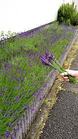 20180614お隣さんの早咲きラベンダーこいむらさき収穫