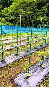 20180614野菜畑