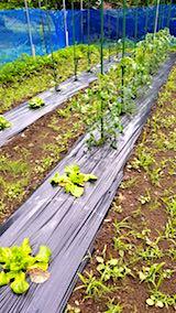 20180614野菜畑サンチュとトマト