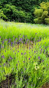 20180614草取り途中から望んだラベンダー畑の様子1