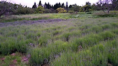 20180614ラベンダー畑の様子3
