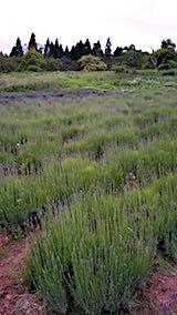 20180614ラベンダーの畑2