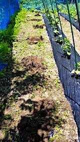 20180615野菜畑支柱立て1