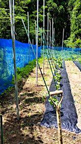 20180615野菜畑支柱立て2