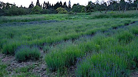 20180615草取り後のラベンダー畑の様子1