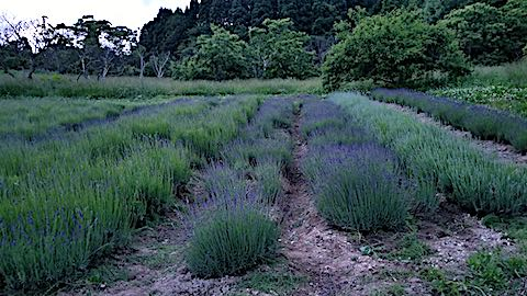 20180615草取り後のラベンダー畑の様子2