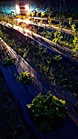 20180615野菜畑サンチュの収穫1