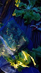 20180615野菜畑サンチュの収穫2