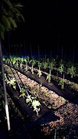 20180615野菜畑サンチュの収穫3