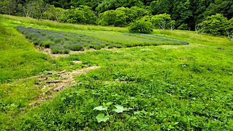 20180616ラベンダー畑周囲の草刈り前の様子1