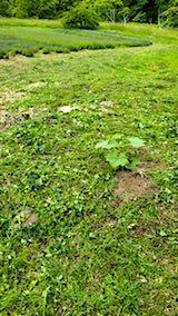 20180616ラベンダー畑周囲の草刈り後の様子3