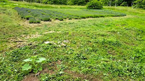 20180616ラベンダー畑周囲の草刈り後の様子1