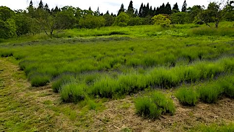 20180616ラベンダー畑の草刈り後の様子1