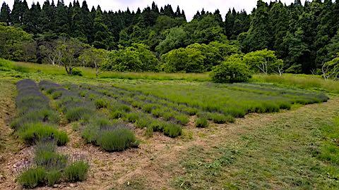 20180616ラベンダー畑の草刈り後の様子3