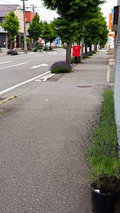 20180616歩道の早咲きラベンダーこいむらさき1