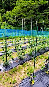 20180618野菜の畑