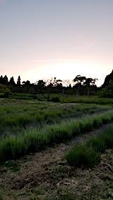 20180618ラベンダーの畑2