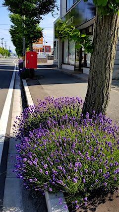 20180619歩道の早咲きラベンダーこいむらさきの様子2