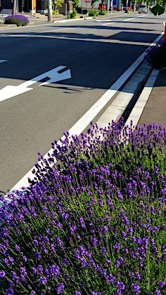2018061歩道の早咲きラベンダーこいむらさきの様子3