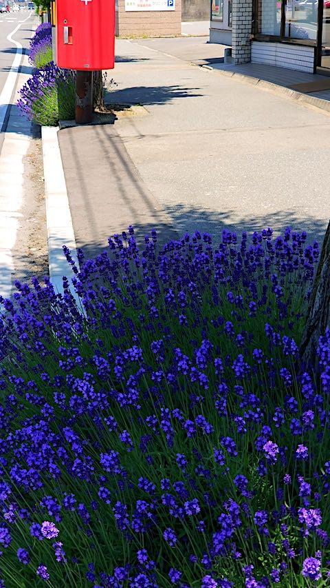 2018061920歩道の早咲きラベンダーこいむらさきの様子4