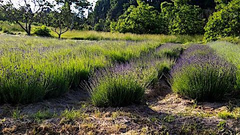 2018061920ラベンダー畑の様子6