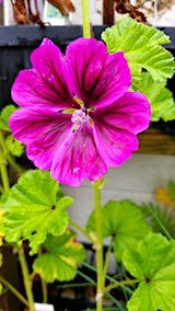 20180620お店前の様子ウスベニアオイの花