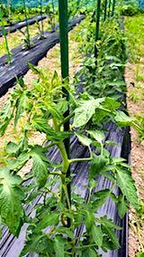 20180620野菜畑の様子トマト