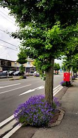 20180621歩道の早咲きラベンダーこいむらさきの様子8