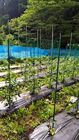 20180621野菜畑の様子